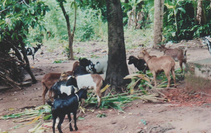 GoatHerd1